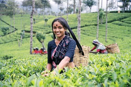 زنان هندی در حال چیدن چای،چای دلگشا محصولی از گروه مواد غذایی تکسان