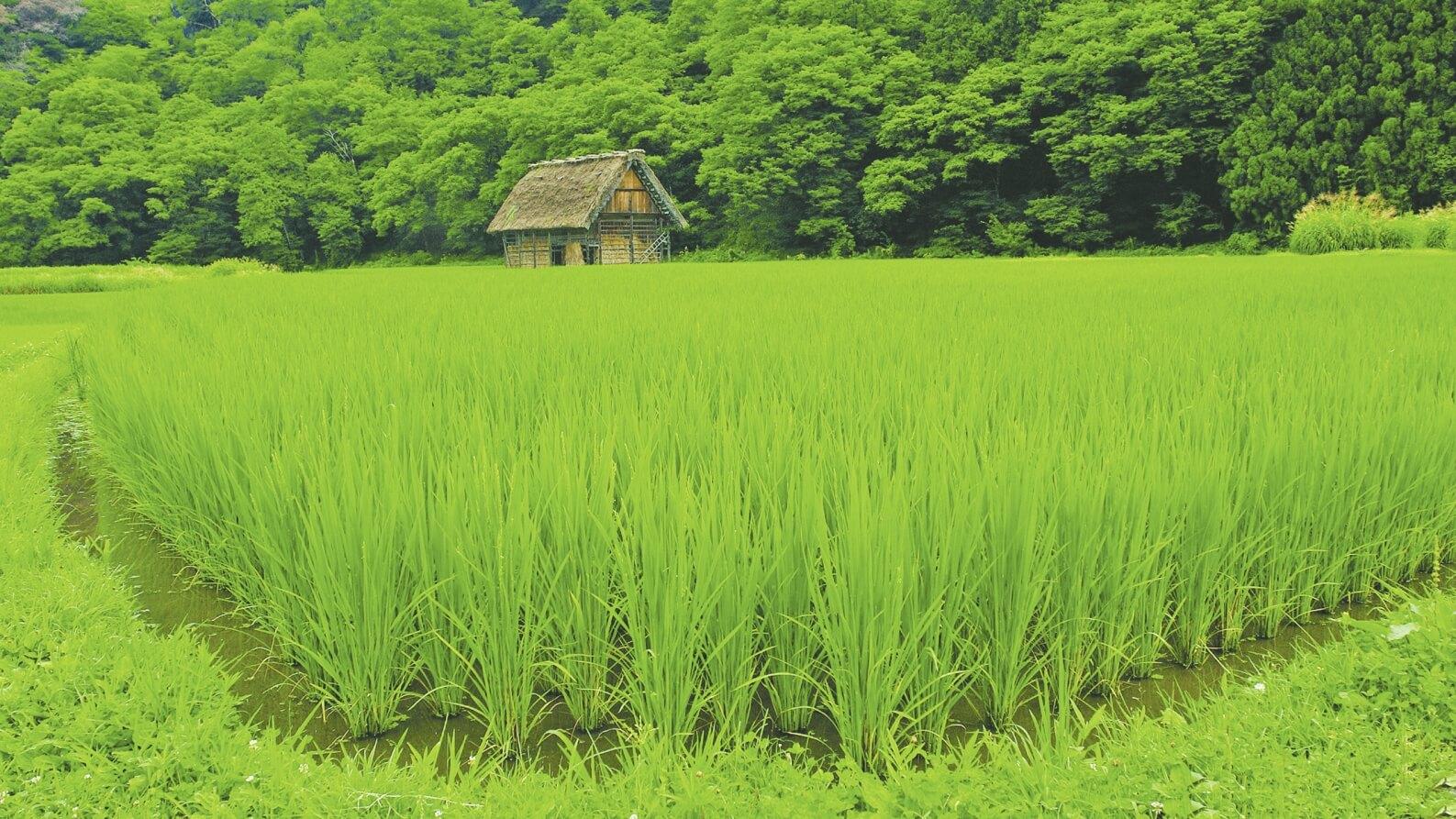 مزرعه سرسبز برنج